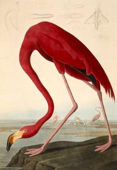 "Audubon drew his famed flamingo, er, phoenicopterus ruber, for his book ''The Birds of America."" (PD-Art)"