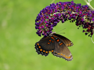 The aptly named Butterfly Bush works! (Anne Sorensen)