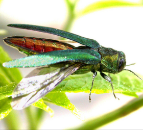 This little emerald ash borer is causing some big problems...(Pic via USDA/Flickr)