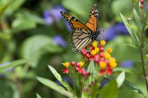 monarch-butterfly-4755