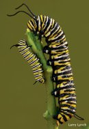 Milkweed, aka Home Sweet Home for monarch larvae. (National Wildlife Federation/Larry Lynch)