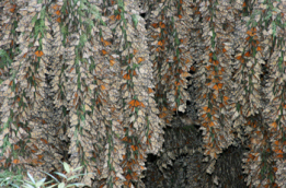 Monarchs cluster on fir boughs in central Mexico (Sweet Briar College)