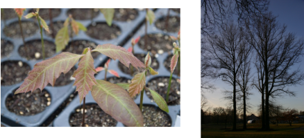 Oak saplings can take up to 50 years to reach their full-grown glory. (Photos by the Morton Arboretum.)