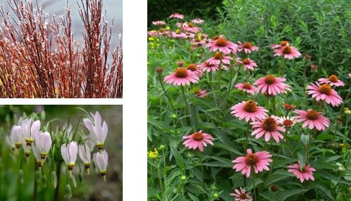 Some of Illinois' natural beauties, clockwise from left: little bluebell, purple coneflower, shooting star. (Pictures by Chicago Botanic Garden)