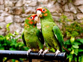Parrots-D-Simmons